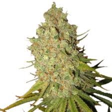 Buy Special Kush 1 Cannabis Seeds UK