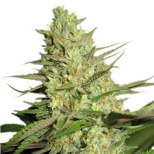 Buy Special Queen 1 Cannabis Seeds UK