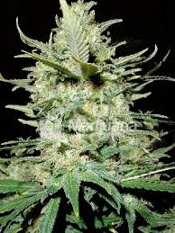 Buy AMNESIA HAZE Cannabis Seeds Online UK
