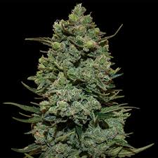 Buy ROYAL COOKIES Cannabis Seeds Online UK