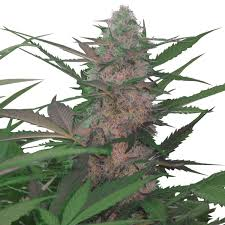 Buy ROYAL AK Cannabis Seeds UK