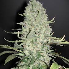 Buy White Widow Cannabis Seeds UK